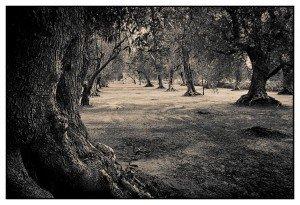 Olivenbaum Olivenbäume in Apulien