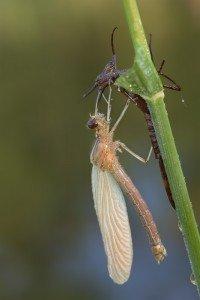 Die Libelle trocknet in der Sonne