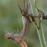 Die Geburt einer Libelle